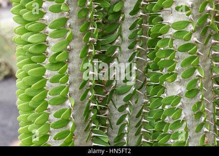 Ocotillo Cactus Close Up