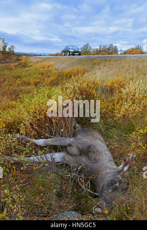 Moose (Alces alces) roadkill after collision with speeding car - Stock Photo
