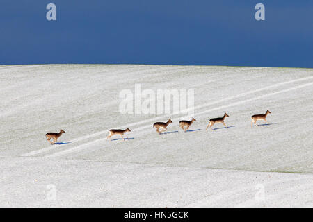 Fallow deer (Dama dama) herd crossing field in the snow in winter - Stock Photo