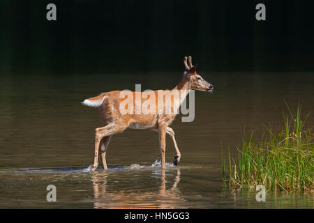 Whitetail deer / white-tailed deer (Odocoileus virginianus), young buck with antlers covered in velvet in shallow - Stock Photo