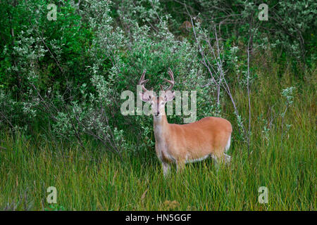 Whitetail deer / white-tailed deer (Odocoileus virginianus), buck with antlers covered in velvet in summer, Canada - Stock Photo