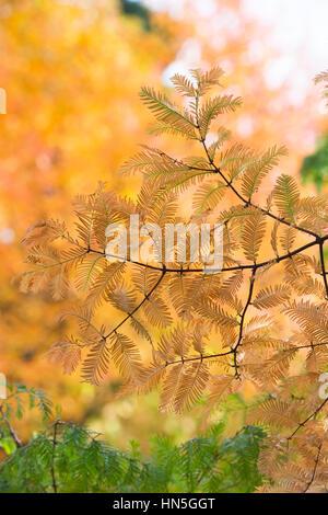 Metasequoia glyptostroboides - Dawn redwood tree needles in autumn - Stock Photo