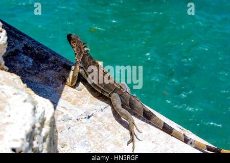 Iguana looking into the water. Taken at Seven Mile Bridge in Florida Keys. - Stock Photo