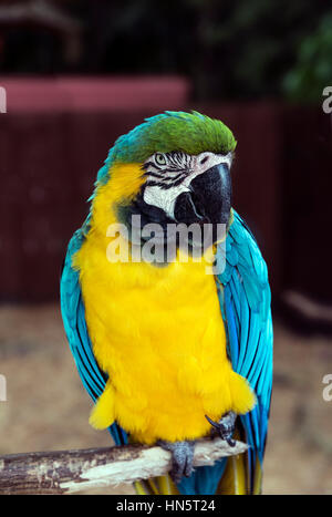 Blue and yellow macaw, Ara ararauna, Florida, USA. - Stock Photo