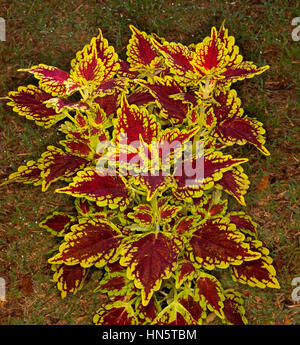 Stunning brightly coloured golden yellow and dark red leaves of Solenostemon cultivar Carnival - commonly known - Stock Photo