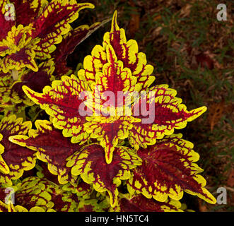 Spectacular brightly coloured golden yellow and dark red leaves of Solenostemon cultivar Carnival' - commonly known - Stock Photo