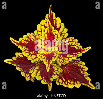 Spectacular brightly coloured golden yellow and dark red leaves of Solenostemon cultivar Carnival - commonly known - Stock Photo