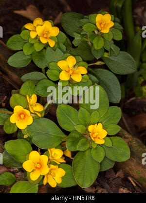 Vivid deep yellow flowers and dark green leaves of reinwardtia stock cluster of golden yellow flowers of ground cover rockery plant lysimachia congestiflora surrounded by deep mightylinksfo