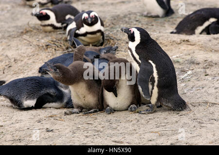 Jackass Penguin, African penguin, (Spheniscus demersus), adult with youngs, Boulders Beach, Simonstown, Western - Stock Photo