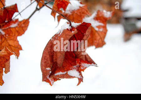 Beautiful background, shallow depth of field with copy space. Snow on leaves. - Stock Photo