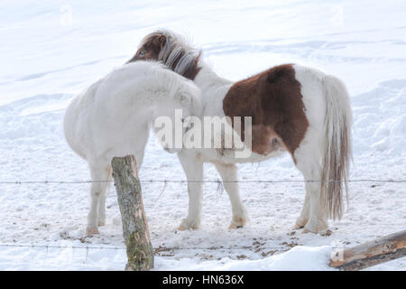 Two Shetland Pony horses hugging each other in a snow-covered field, Sauerland, Germany. - Stock Photo