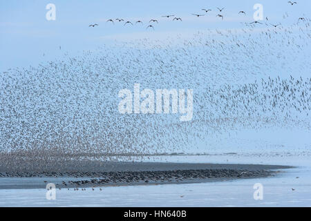 Large flock of red knot (Calidris canutus) and oysterctacher (Himantopus ostralegus) in pre-roost gathering on the - Stock Photo