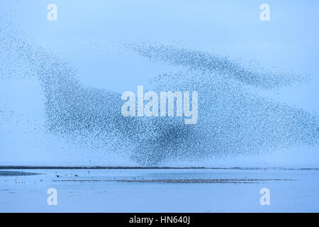 Large flock of red knot (Calidris canutus) in pre-roost gathering on the Wash estuary. Snettisham RSPB reserve, - Stock Photo