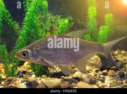 freshwater fish in their natural habitat, the photo with the addition of tonal colors - Stock Photo