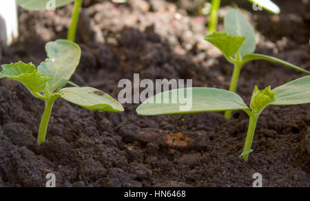 Sprouts of a plant cucumber in bright light of the sun.Seedlings, seedlings, planting materials. - Stock Photo
