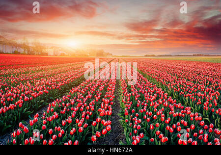 rows of pink tulips in Holland. - Stock Photo