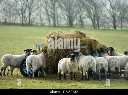 Sheep feeding on the South Downs in East Sussex - Stock Photo