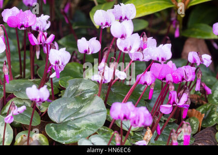 Pale and darker pink flowers of self seeded plants of the winter flowering sowbread, Cyclamen coum Stock Photo