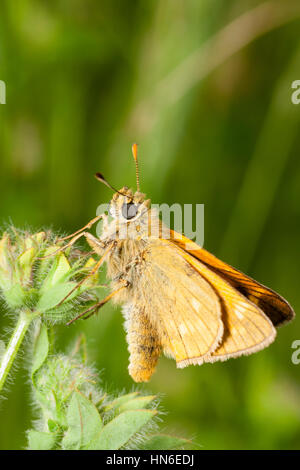 Female large skipper butterfly, Ochlodes sylvanus, at rest in it's meadow habitat - Stock Photo