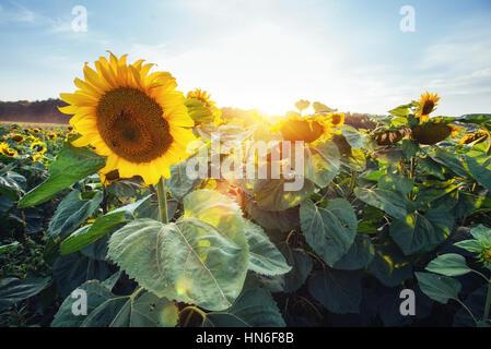 sunflowers through the rays of the sun - Stock Photo