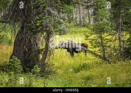 Moose standing by summer yellow wildflowers in a pine tree forest at Albion Basin, Salt Lake City, Utah - Stock Photo