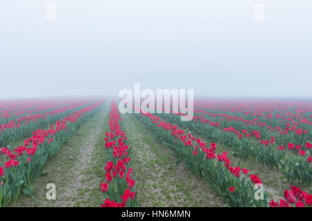 Many rows of red tulips during misty morning fog overcast rainy weather in the field - Stock Photo
