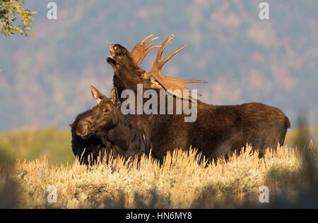 Flehmen response by bull moose over cow moose in middle of rut in autumn - Stock Photo