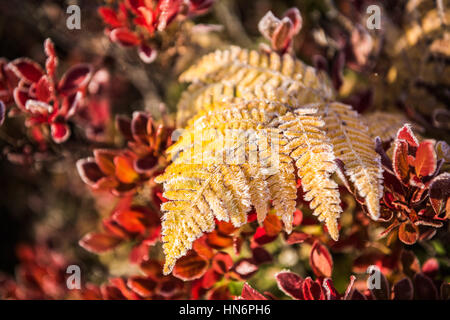 Frost on yellow fern with red blueberry leaves in morning sunlight - Stock Photo