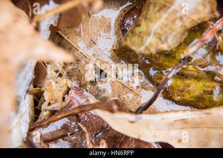 Dry foliage autumn brown leaves covered in shiny ice frost - Stock Photo