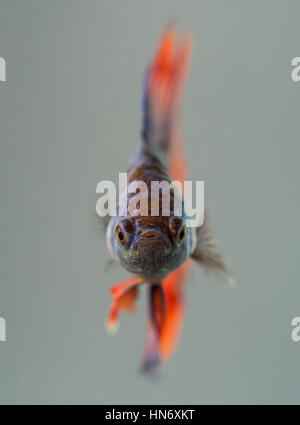 Betta Splendens (Siamese Fighting Fish), male. - Stock Photo