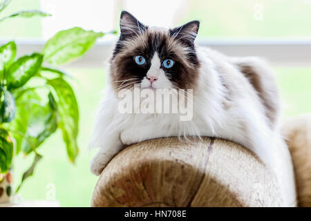 A large Ragdoll cat relaxing indoors on the arm of a sofa. Bred for their mild temperament this cat has bright blue - Stock Photo