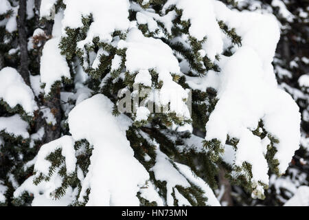 Snowy pine trees on the alp mountain during winter - Stock Photo