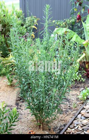 Flaxleaf fleabane or known as Conyza bonariensis Cronquist  or hairy horseweed - Stock Photo