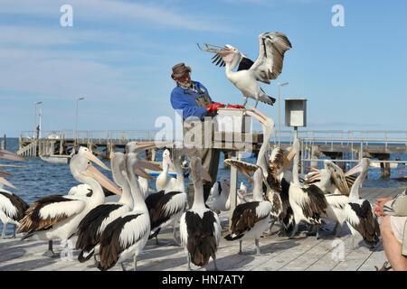 Australian Pelican Pelecanus conspicillatus Pelican feeding for tourists Photographed on Kangaroo Island, South - Stock Photo