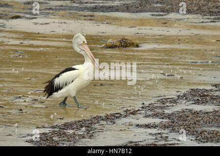 Australian Pelican Pelecanus conspicillatus Photographed on Kangaroo Island, South Australia - Stock Photo
