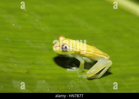Canal Zone Tree Frog, Hypsiboas rufiletus, at night