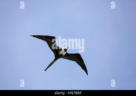 Magnificent Frigatebird, Fregata magnificens, female in flight - Stock Photo