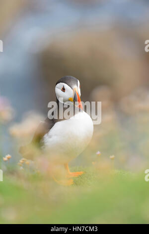 Atlantic Puffin (Fratercula arctica) adult, standing at coastal cliff amongst flowering sea thrift, shallow depth - Stock Photo