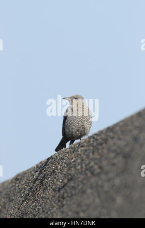 Female Blue Rock Thrush (Monticola solitarius philippensis), perched on a concrete harbour wall, against a blue - Stock Photo