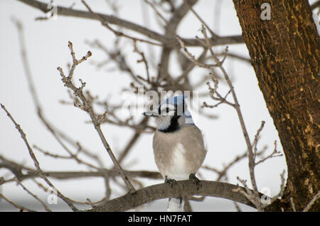Vadnais Heights, Minnesota. Male Blue Jay, Cyanocitta cristata, sitting on a bare branch in the winter. - Stock Photo