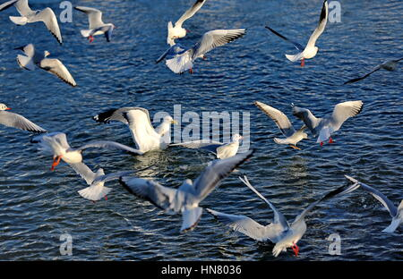 Shijiazhuang, China's Hebei Province. 9th Feb, 2017. Seagulls forage for food at river estuary in Qinhuangdao City, - Stock Photo