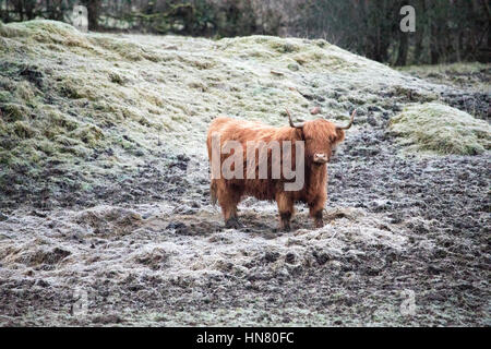 Highland cattle standing in a frozen muddy field or paddock on  rural isolated farm near Moel-y-Crio in Flintshire, - Stock Photo