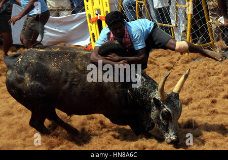 Palamedu, Indian state of Tamil Nadu. 9th Feb, 2017. An Indian tries to control a bull during a traditional bull - Stock Photo