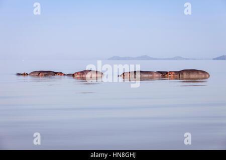 Hippopotamuses In Lake Ziway, Ethiopian Rift Valley, Ethiopia - Stock Photo