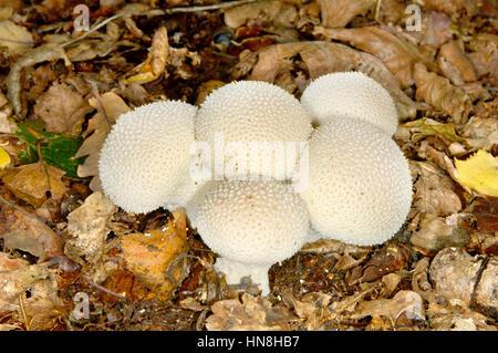 Common Puffball - Lycoperdon perlatum - Stock Photo