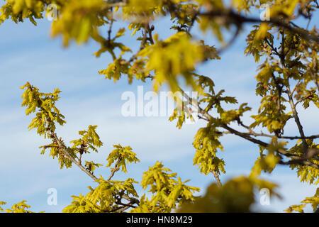 Common Oak (Quercus robur) leaves budding, Letchmire Pastures, West Yorkshire, England, April - Stock Photo