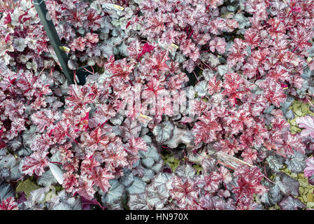Mass of Heuchera Liquorice at a plant centre for sale in UK - Stock Photo