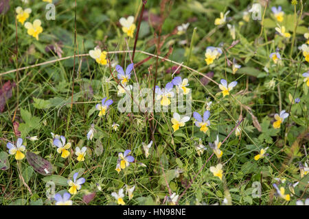 Mountain Pansy, Viola lutea, growing on an old lead mining site at Hurst, North Yorkshire - Stock Photo