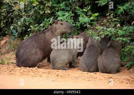 Capybara, (Hydrochoerus hydrochaeris), adult with youngs on shore, Pantanal, Mato Grosso, Brazil, South America - Stock Photo