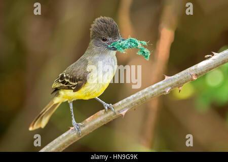 Apical Flycatcher (Myiarchus apicalis), laguna de Sonso, Buga, Valle del Cauca - Stock Photo